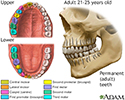 Development of permanent teeth