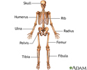 Anterior skeletal anatomy