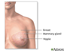 Normal female breast anatomy